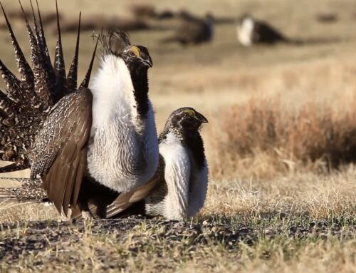 Sagebrush Sea, Sage-Grouse & Western Wildlife, video